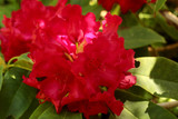 Rhododendron 'Titian Beauty' In 9cm Pot, Stunning Deep-Red Flowers