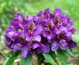 3 Rhododendron 'Lee's Dark Purple' In 9cm Pots, Purple Flowers With Orange  Blotches