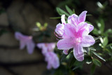 Rhododendron 'Cheer' in 9cm Pot, Magnificent Light Pink Flowers