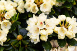 3 Rhododendron Wren Plants in 9cm Pots, Magnificent Pale Yellow Flowers