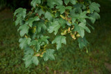 50 Field Maple Hedging, Native Trees Acer Campestre 3-4ft Plants,Autumn Colour