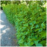 10 Griselinia Hedging Plants, 3ft Tall, 2L Pots Multi-stemmed, Fast Growing
