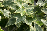 3 Hedera helix 'Goldchild' / Variegated English Ivy Plants In 9cm Pots, Stunnig Evergreen Climbers