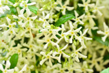 3  Trachelospermum Jasminoides / Star of Toscana Jasmine 20-30cm in 2L Pots, Stunning Fragrant Flowers