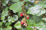 3 Rubus Tricolor / Chinese Bramble Plants, 20-30cm Tall in 9cm Pots, Edible Fruit