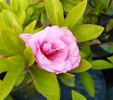 Azalea Rosebud 25-30cm Tall in 2L Pot,Pink Double Blooms With Rich Red Center