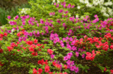 5 x Mixed Azalea In 2L Pots, Stunning Flowering Shrubs For Every Garden!