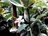 3 Trachelospermum Jasminoides Variegatum Jasmine 20-30cm in 2L Pots, Stunning Scent