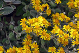 Brachyglottis Sunshine / Senecio Greyi, 30cm Tall in 2L Pot, Stunning Evergreen Shrub