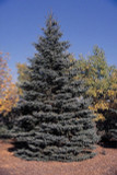100 Blue Spruce Xmas Trees,Picea Pungens Glauca 20-40cm.Lovely Blue Pine Needles