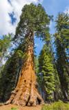 Sequoiadendron Giganteum / Wellingtonia / Mammoth Tree 20-40cm In 9cm Pot