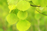 Populus Tremula / Common Aspen 4-5ft Tall, Beautiful Tree With Shimmering Foliage