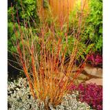 10 Midwinter Fire Dogwood / Cornus Sanguinea 30-50cm Tall, Flame-coloured Stems