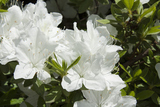 Azalea Japonica Pleasant White / Rhododendron 25-30cm Tall In 2L Pot