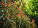Pieris Japonica Carnaval 20-30cm Tall In 1-2L Pot , Stunning Evergreen Shrub