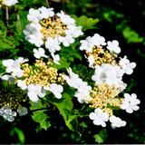 1 Guelder Rose / Viburnum Opulus, 3-4ft Tall in 6L Pot, Flowers & Berries