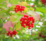 1 Guelder Rose / Viburnum Opulus, 2-3ft Tall in 1L Pot, Flowers & Berries