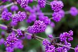 Callicarpa Bodinieri Giraldii Profusion / Beautyberry in 9cm Pot, Purple Berries