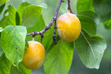 Coe's Golden Drop Plum Tree, Gage Style Flavour, Traditional Yellow English Plum