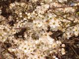 1000 Blackthorn Hedging 40-60cm, Prunus Spinosa 2ft Sloe Hedge. Flowers & Fruit