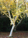 6 Silver Birch Jacquemontii 4-5ft Stunning Trees, Himalyan White Birch, Betula