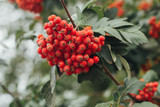 Mountain Ash Gibbsii 4-5ft Tall / Sorbus Hybrida Gibbsii, WIldlife Friendly