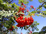 Sorbus Aucuparia / Mountain Ash 'Rossica Major' 4-5ft Tall, Wildlife Friendly