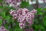 Syringa 'Josée' Lilac Tree, 25-30cm in 2L Pot, Stunning Flowering Shrub
