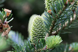 5 Abies Fraseri 20-30cm / Fraser's Balsam Fir / Fraser Fir, Beautiful Shiny Leaves