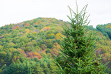 10 Abies Fraseri 20-30cm / Fraser's Balsam Fir / Fraser Fir, Beautiful Shiny Leaves