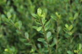 3 Japanese Holly Plant / Ilex Crenata Stokes 25-30cm in 2L Pots Evergreen Shrub