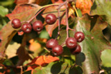 5 Sorbus Torminalis / Wild Service Tree 40-60cm Tall, Wildlife Friendly