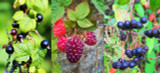 3 Mixed Fruit Plants - Jostaberry, Loganberry &  Aronia, Fresh Fruit From Your Garden