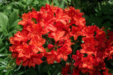 Deciduous Azalea AM Koster's Brilliant Red 30-40cm Tall  In 4L Pot, Flaming Red Flowers