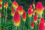 Kniphofia Flamenco / Red Hot Poker / Torch Lily In 2L Pot, Stunning Bright Colours