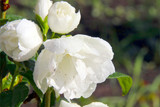 Philadelphus 'Snowbelle' / Mock orange 'Snowbelle' in 2L Pot, Stunning White Flowers