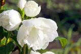 3  Philadelphus 'Snowbelle' / Mock orange 'Snowbelle' in 2L Pots, Stunning White Flowers