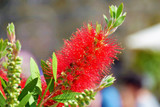 Callistemon Citrinus 'Splendens' In a 2L Pot, Stunning Bright Red Flowers