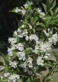 Weigela Candida / Avalanche in 2L Pot, Lovely White Bell-shaped Flowers