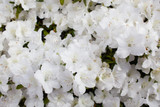 Azalea Japonica 'Mount Everest' In 2L Pot, Stunning White Flowers