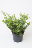 "Ilex Crenata ""Glory Jem"" in 2L Pot Evergreen Shrub, Glossy Evergreen Leaves"