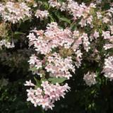Kolkwitzia Amabilis Maradco / Beauty Bush In 2L Pot, Dream Catcher
