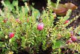 1 'Pilgrim' Cranberry / Vaccinium macrocarpon 'Pilgrim In a 9cm Pot