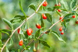 1 Goji Berry / Lycium Barbarum In a 9cm Pot, Full of Essential Nutrients!