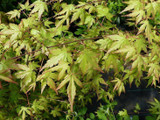 Japanese Maple / Acer Palmatum 3-4ft Tall in 2L Pot, Stunning Autumn Colours