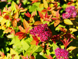 Japanese Spirea Goldflame / Spiraea Japonica In 2L Pot, Beautiful Summer Colours