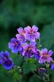 Geranium 'Magnificum' / Purple Cranesbill In 2L Pot, Beautiful Summer Flowers