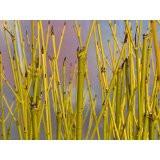 10 Green Dogwood  2-3ft Hedging Plants,Stunning Cornus Stolonifera 'Flavirimea'