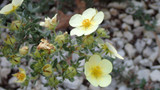 Potentilla fruticosa 'Primrose Beauty' / Shrubby Cinquefoil In 2L Pot