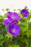 Geranium sanguineum 'Max Frei' / Cranesbill Max Frei In 2L Pot, Stunning Flowers